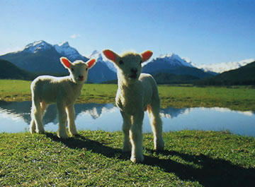 Nz-farm-animal-tales